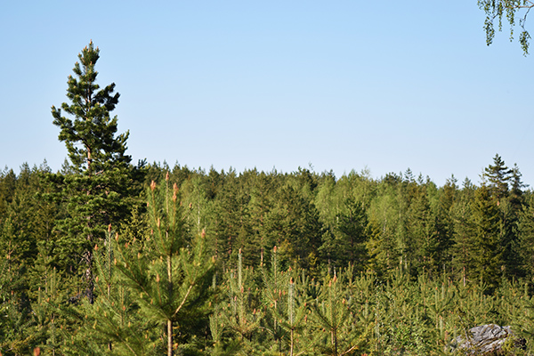 bosque finlandés infinito