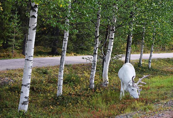 Conducir en Laponia renos