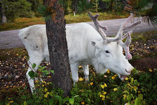 Reno blanco Finlandia