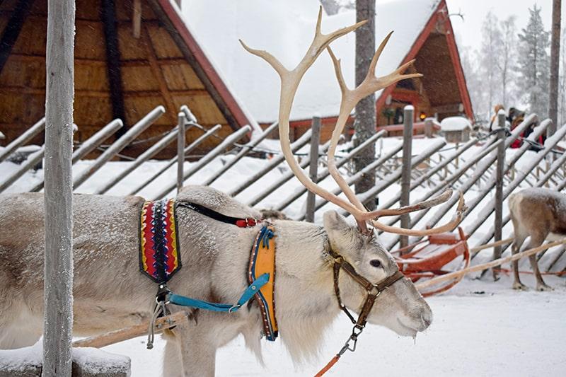 Laponia en Navidad renos
