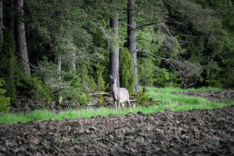 ciervo de cola blanca